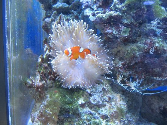 aquarium poisson clown