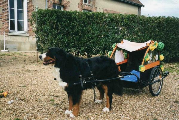 charrette pour chien