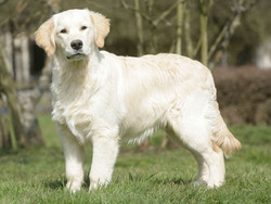 taille golden retriever